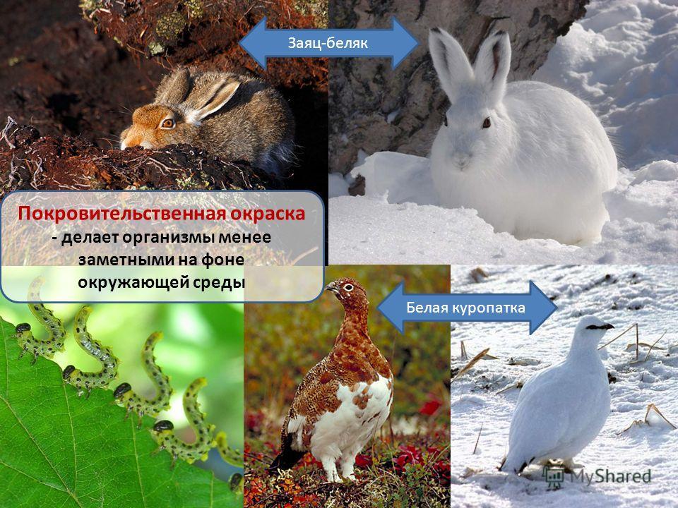 Белая куропатка Покровительственная окраска - делает организмы менее заметными на фоне окружающей среды Заяц-беляк