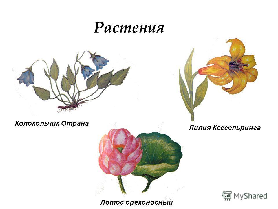 Растения Лилия Кессельринга Колокольчик Отрана Лотос орехоносный