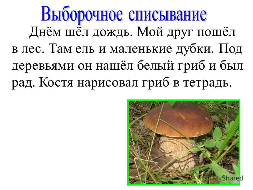 Днём шёл дождь. Мой друг пошёл в лес. Там ель и маленькие дубки. Под деревьями он нашёл белый гриб и был рад. Костя нарисовал гриб в тетрадь.