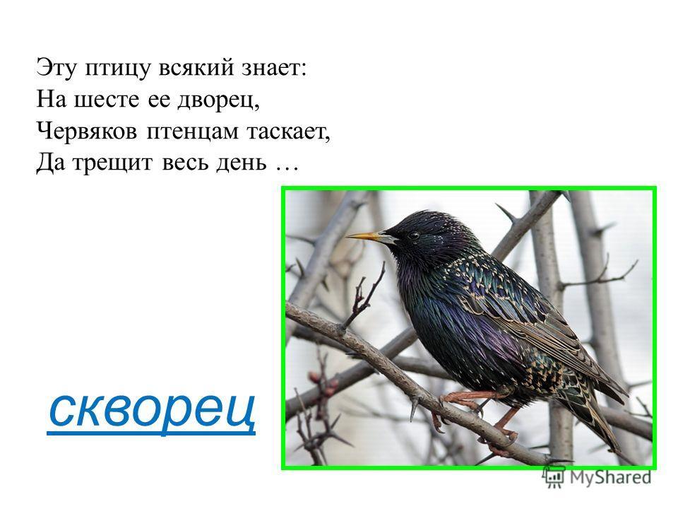 скворец Эту птицу всякий знает: На шесте ее дворец, Червяков птенцам таскает, Да трещит весь день …