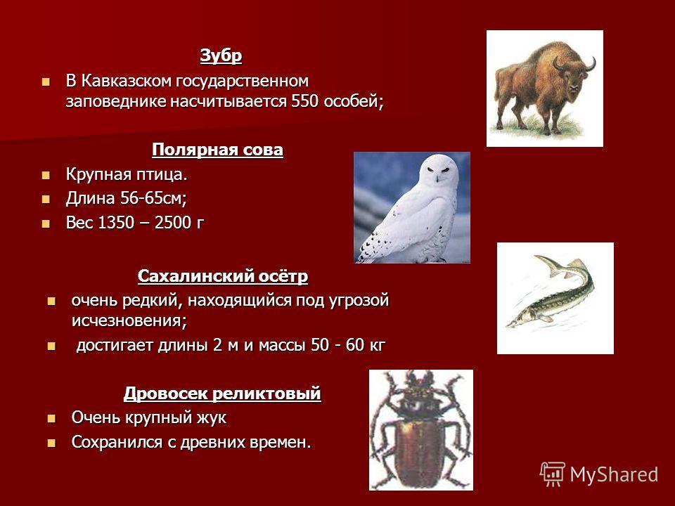 Зубр Зубр В Кавказском государственном заповеднике насчитывается 550 особей; В Кавказском государственном заповеднике насчитывается 550 особей; Полярная сова Крупная птица. Крупная птица. Длина 56-65см; Длина 56-65см; Вес 1350 – 2500 г Вес 1350 – 250