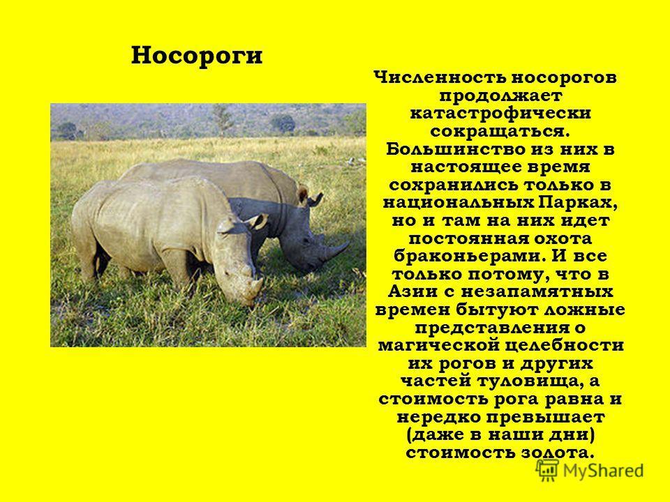 Численность носорогов продолжает катастрофически сокращаться. Большинство из них в настоящее время сохранились только в национальных Парках, но и там на них идет постоянная охота браконьерами. И все только потому, что в Азии с незапамятных времен быт