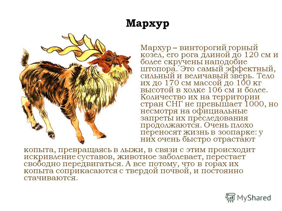 Мархур Мархур – винторогий горный козел, его рога длиной до 120 см и более скручены наподобие штопора. Это самый эффектный, сильный и величавый зверь. Тело их до 170 см массой до 100 кг высотой в холке 106 см и более. Количество их на территории стра