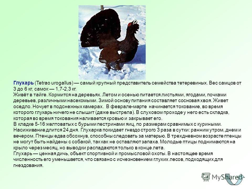 Глухарь (Tetrao urogallus) самый крупный представитель семейства тетеревиных. Вес самцов от 3 до 6 кг, самок 1,7-2,3 кг. Живёт в тайге. Кормится на деревьях. Летом и осенью питается листьями, ягодами, почками деревьев, различными насекомыми. Зимой ос