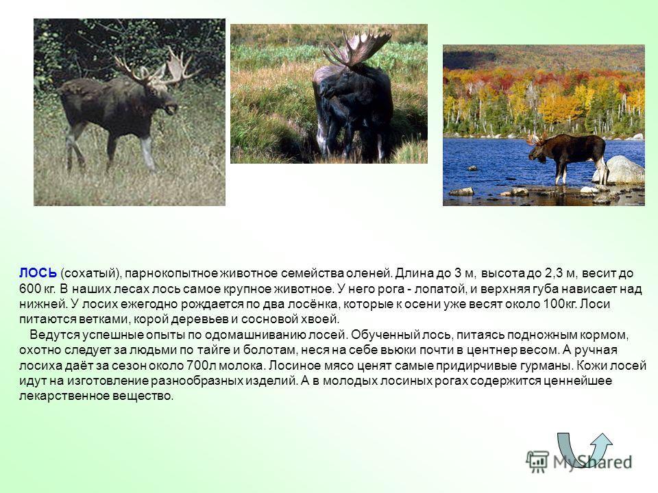 ЛОСЬ (сохатый), парнокопытное животное семейства оленей. Длина до 3 м, высота до 2,3 м, весит до 600 кг. В наших лесах лось самое крупное животное. У него рога - лопатой, и верхняя губа нависает над нижней. У лосих ежегодно рождается по два лосёнка,