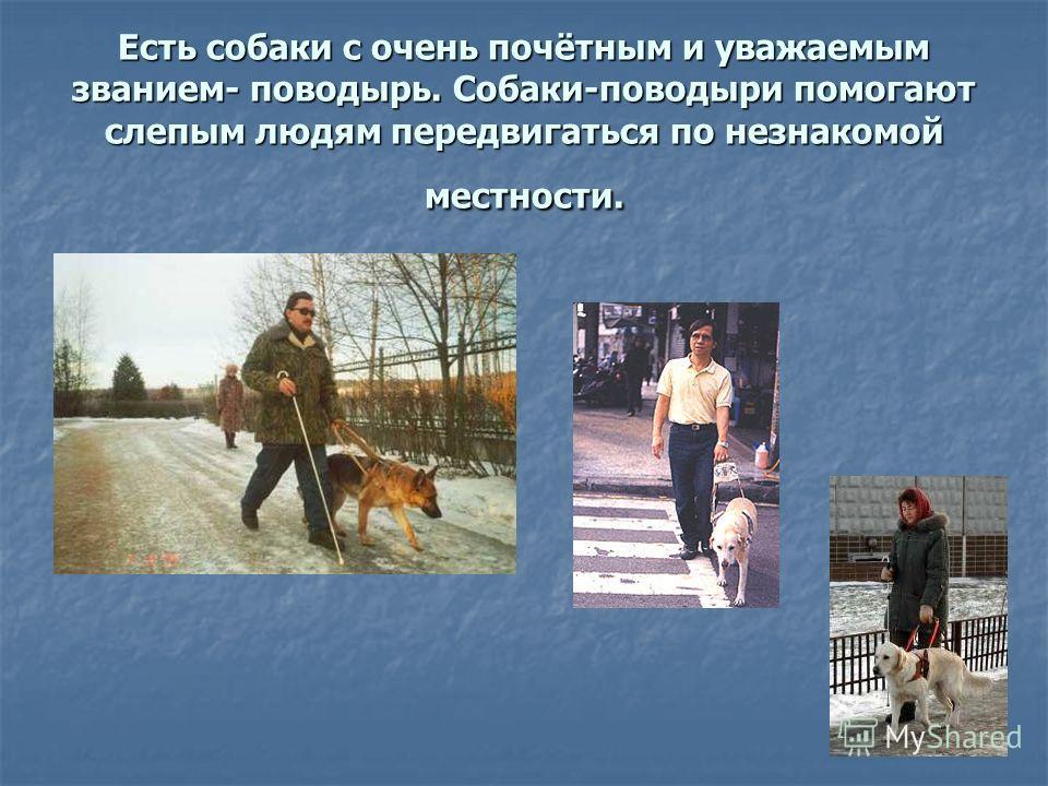 Есть собаки с очень почётным и уважаемым званием- поводырь. Собаки-поводыри помогают слепым людям передвигаться по незнакомой местности.
