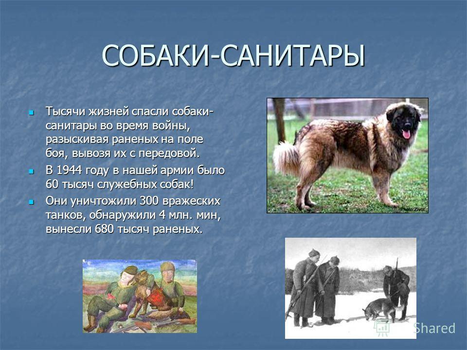 СОБАКИ-САНИТАРЫ Тысячи жизней спасли собаки- санитары во время войны, разыскивая раненых на поле боя, вывозя их с передовой. В 1944 году в нашей армии было 60 тысяч служебных собак! Они уничтожили 300 вражеских танков, обнаружили 4 млн. мин, вынесли