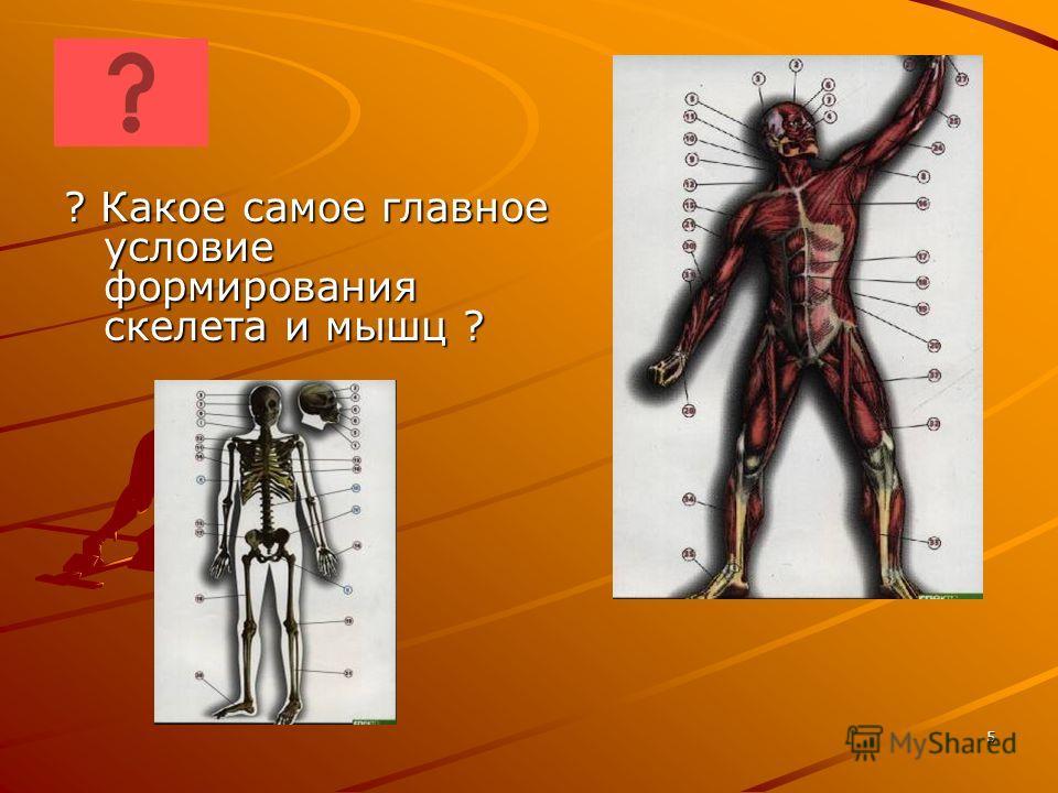 ? Какое самое главное условие формирования скелета и мышц ? 5