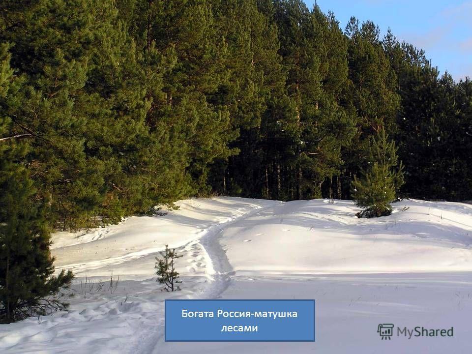 Богата Россия-матушка лесами