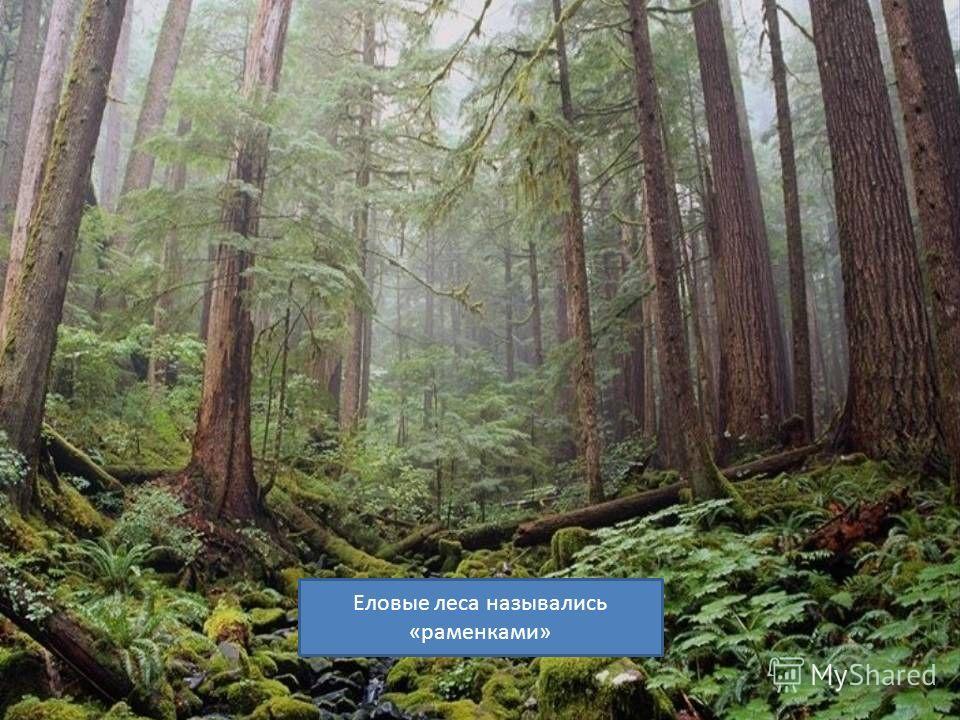 Еловые леса назывались «раменками»