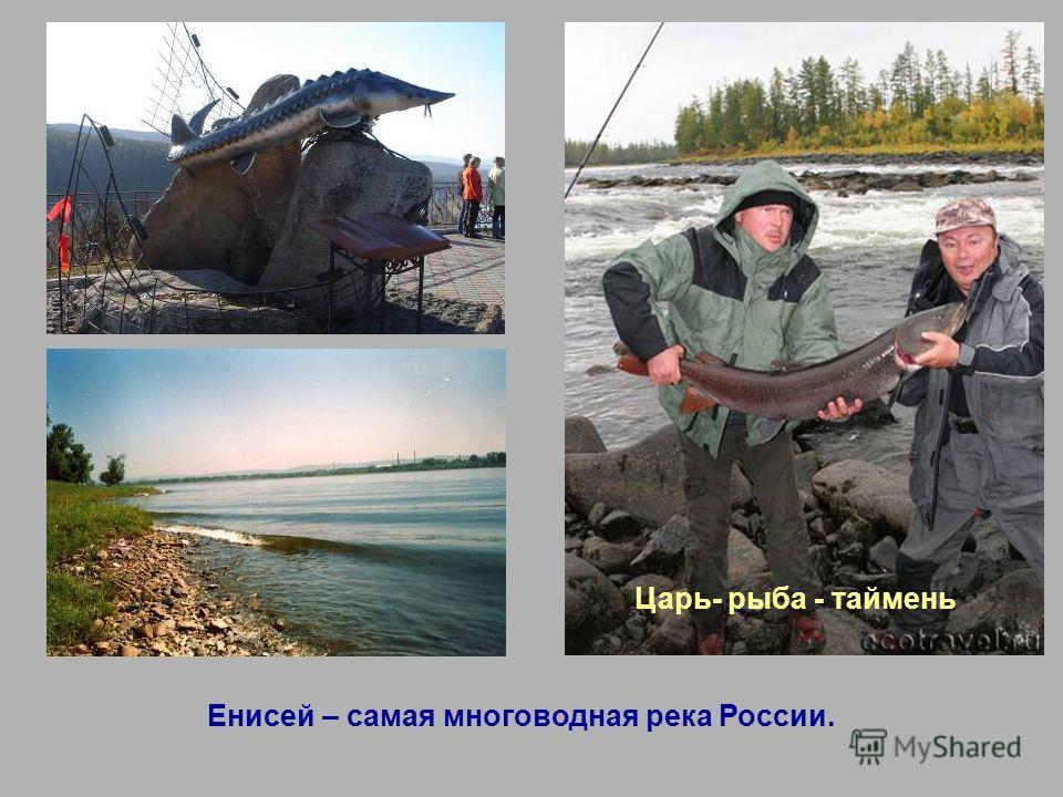 Енисей – самая многоводная река России. Царь- рыба - таймень