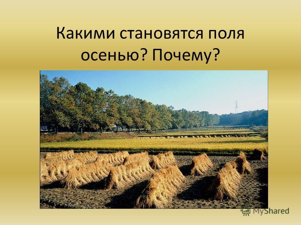 Какими становятся поля осенью? Почему?