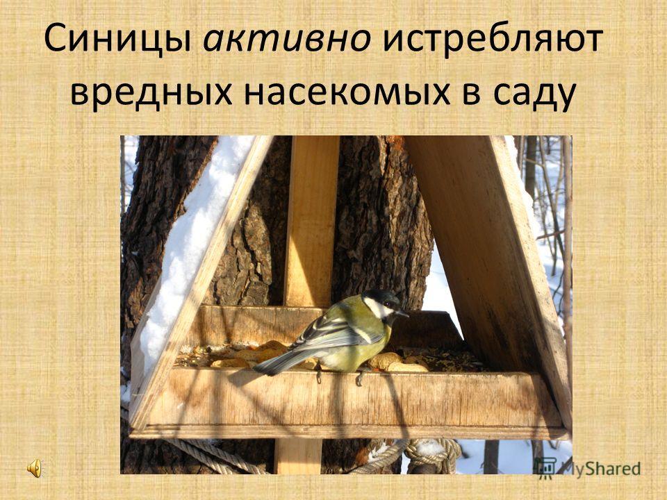 Синицы активно истребляют вредных насекомых в саду
