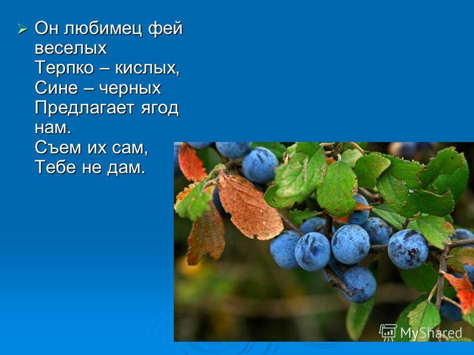Он любимец фей веселых Терпко – кислых, Сине – черных Предлагает ягод нам. Съем их сам, Тебе не дам. Он любимец фей веселых Терпко – кислых, Сине – черных Предлагает ягод нам. Съем их сам, Тебе не дам.