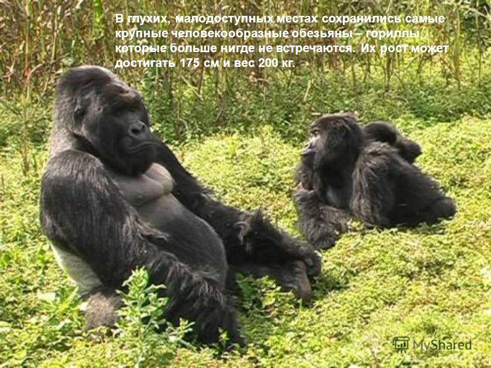 В глухих, малодоступных местах сохранились самые крупные человекообразные обезьяны – гориллы, которые больше нигде не встречаются. Их рост может достигать 175 см и вес 200 кг.