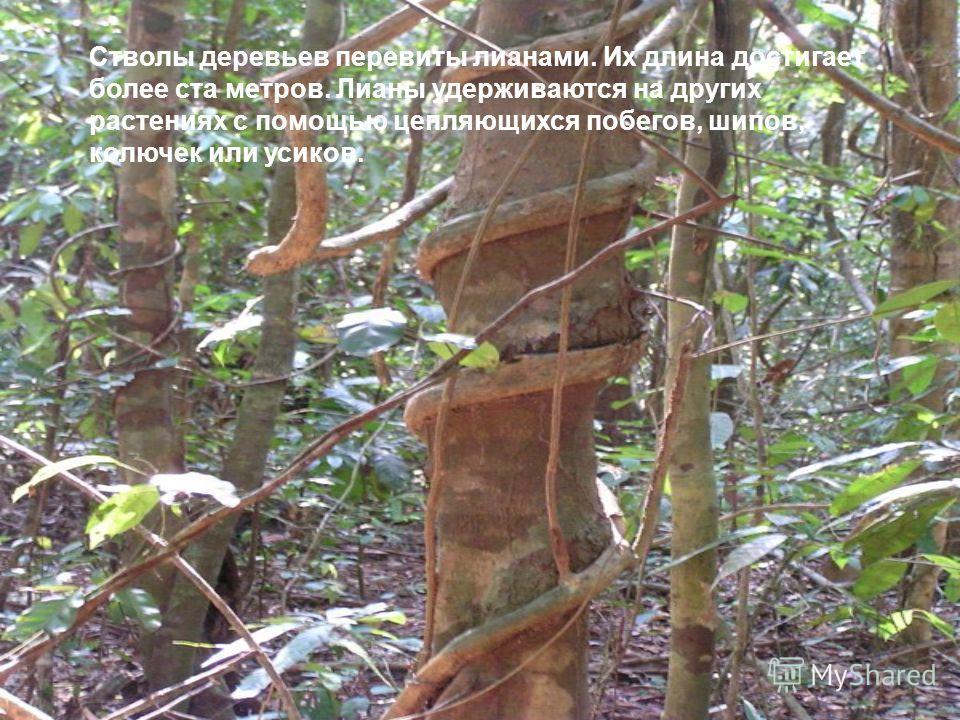 Стволы деревьев перевиты лианами. Их длина достигает более ста метров. Лианы удерживаются на других растениях с помощью цепляющихся побегов, шипов, колючек или усиков.
