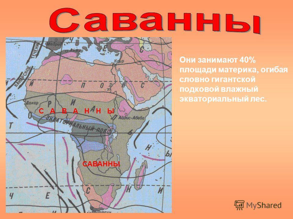 С А В А Н Н Ы Они занимают 40% площади материка, огибая словно гигантской подковой влажный экваториальный лес.