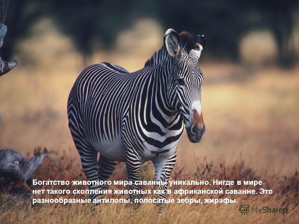Богатство животного мира саванны уникально. Нигде в мире нет такого скопления животных как в африканской саванне. Это разнообразные антилопы, полосатые зебры, жирафы.