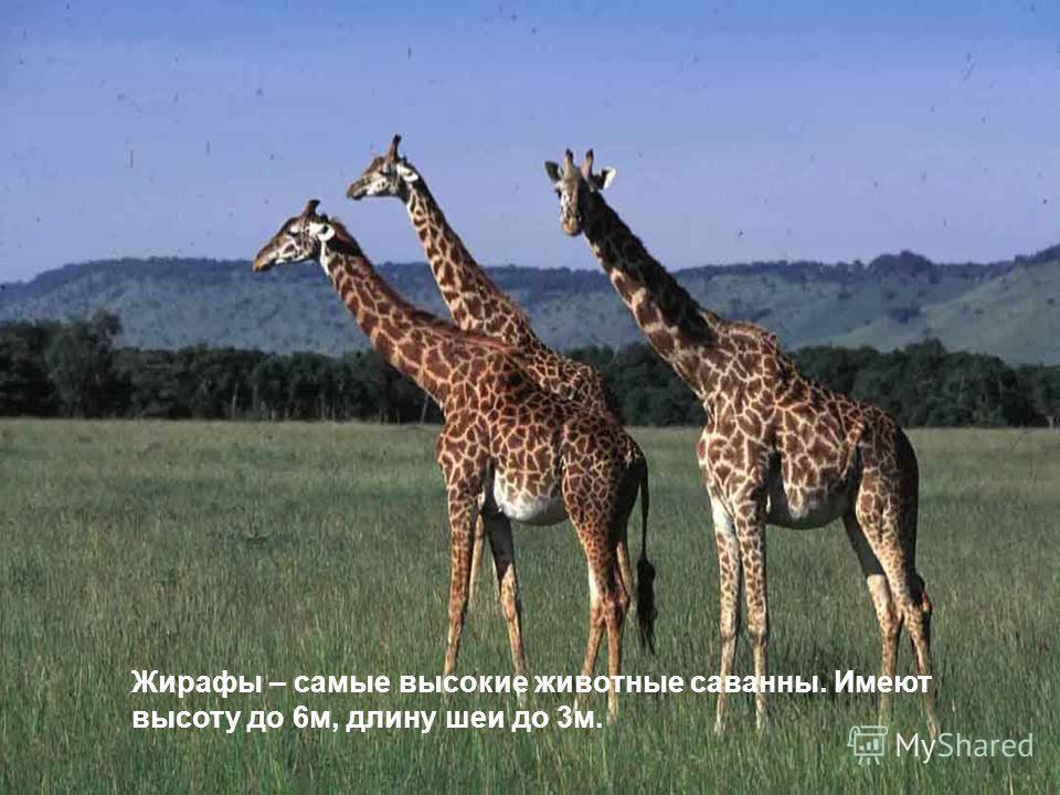 Жирафы – самые высокие животные саванны. Имеют высоту до 6м, длину шеи до 3м.