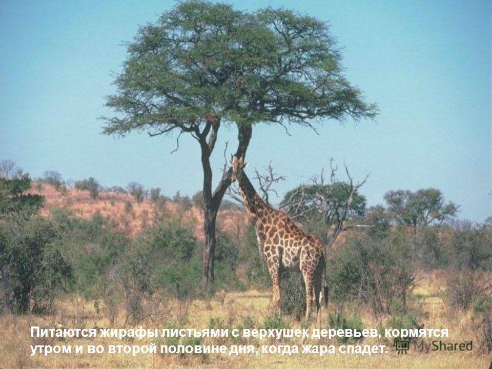 Питаются жирафы листьями с верхушек деревьев, кормятся утром и во второй половине дня, когда жара спадет.