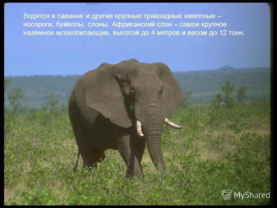 Водятся в саванне и другие крупные травоядные животные – носороги, буйволы, слоны. Африканский слон – самое крупное наземное млекопитающие, высотой до 4 метров и весом до 12 тонн.