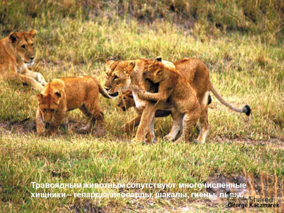 Травоядным животным сопутствуют многочисленные хищники – гепарды, леопарды, шакалы, гиены, львы.