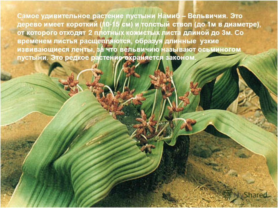 Самое удивительное растение пустыни Намиб – Вельвичия. Это дерево имеет короткий (10-15 см) и толстый ствол (до 1м в диаметре), от которого отходят 2 плотных кожистых листа длиной до 3м. Со временем листья расщепляются, образуя длинные узкие извивающ
