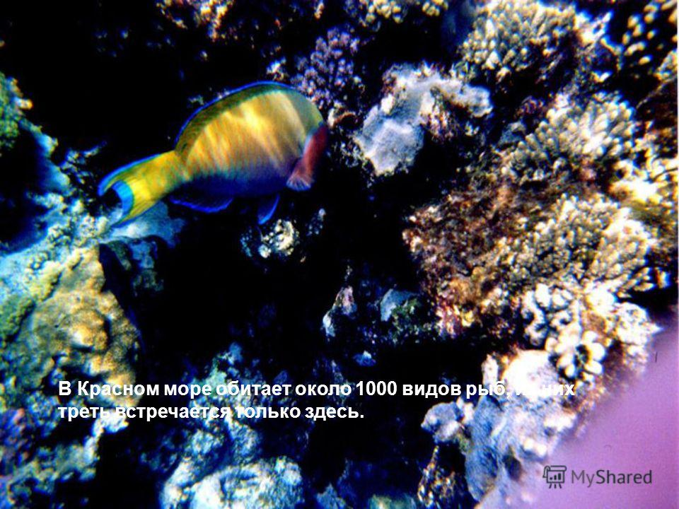 В Красном море обитает около 1000 видов рыб, из них треть встречается только здесь.