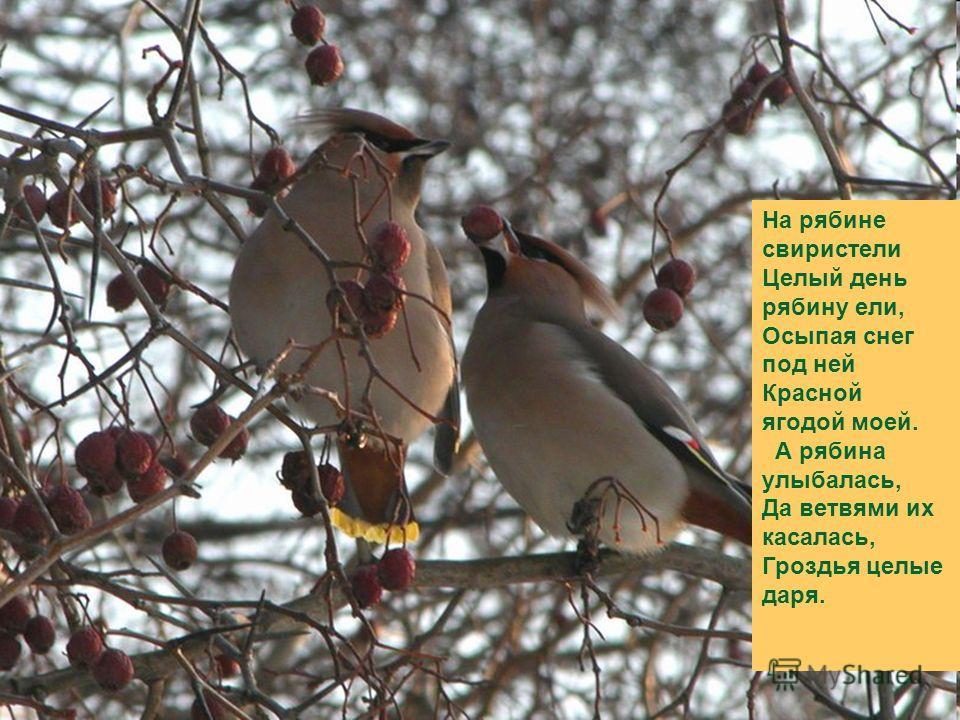На рябине свиристели Целый день рябину ели, Осыпая снег под ней Красной ягодой моей. А рябина улыбалась, Да ветвями их касалась, Гроздья целые даря.