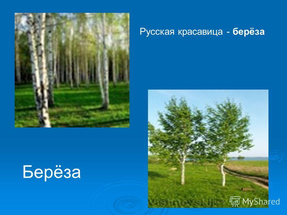 «Чудо дивное» Во множестве сказок люди отправляются за тридевять земель в тридесятое царство искать чудо чудное, дерево дивное… Вот одно из них рядом с домом, или у дороги, или в рощице. Дерево удивительное - настоящая русская красавица. У нее единст