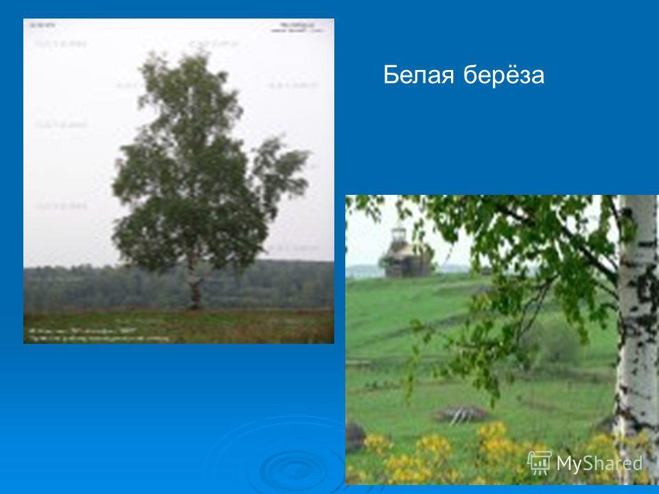 Русская красавица - берёза Берёза