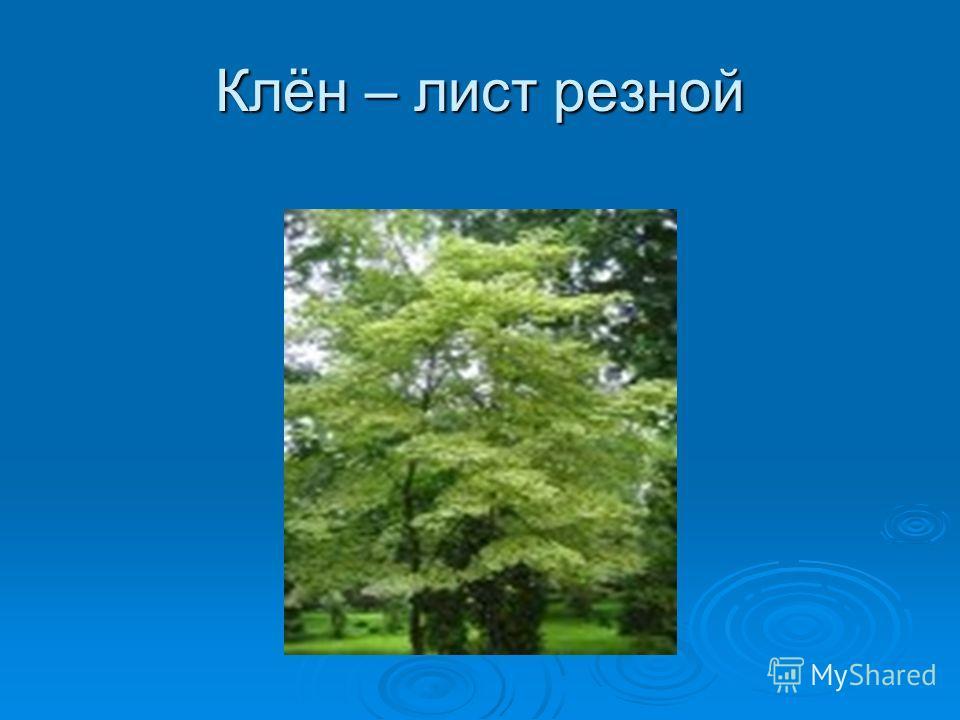 «Слезы» Пожалуй, осенью нет красивее дерева. Кажется, что его большие просвечивающие на солнце листья выкованы из тонких золотых пластинок. Дерево словно горит, поражая богатством оттенков багряного и зеленого, оранжевого и желтого. Каждый красив по