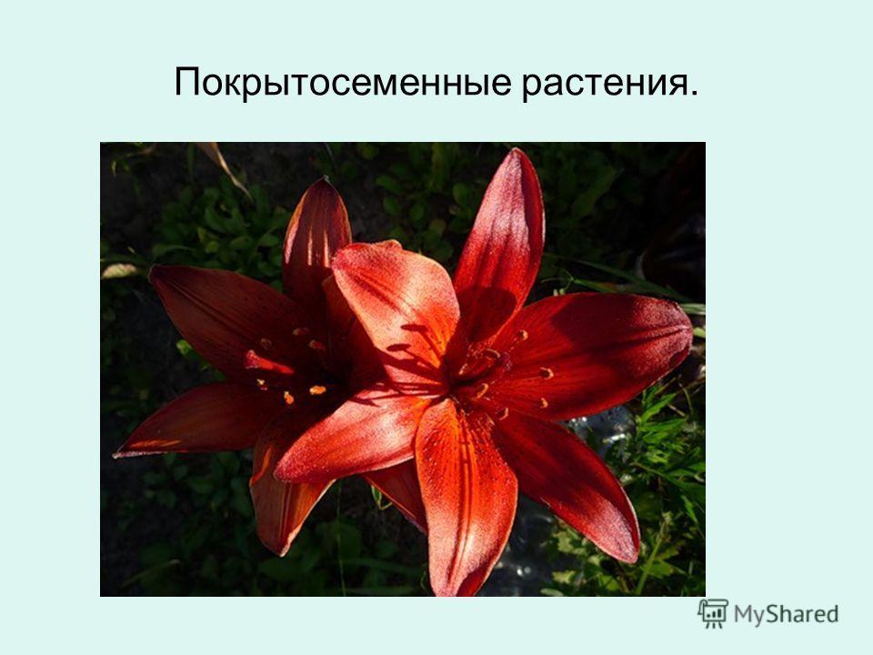 Покрытосеменные растения.