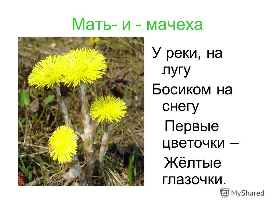 Мать- и - мачеха У реки, на лугу Босиком на снегу Первые цветочки – Жёлтые глазочки.