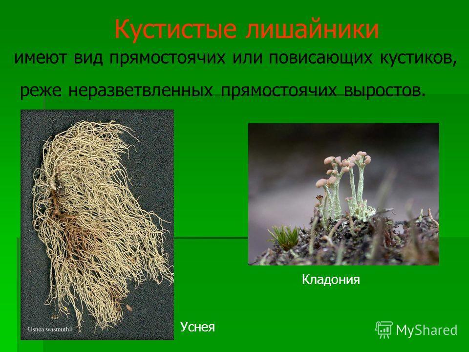Кустистые лишайники имеют вид прямостоячих или повисающих кустиков, реже неразветвленных прямостоячих выростов. Кладония Уснея