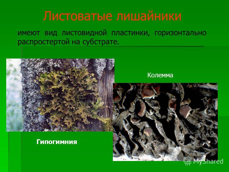 Листоватые лишайники имеют вид листовидной пластинки, горизонтально распростертой на субстрате. Гипогимния Колемма