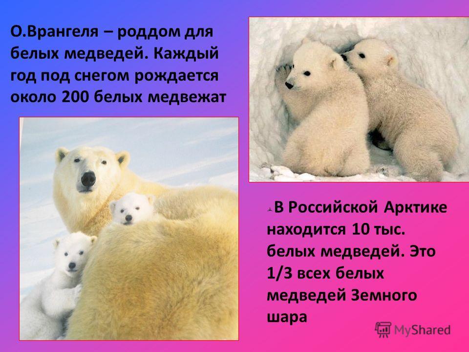 В Российской Арктике находится 10 тыс. белых медведей. Это 1/3 всех белых медведей Земного шара О.Врангеля – роддом для белых медведей. Каждый год под снегом рождается около 200 белых медвежат