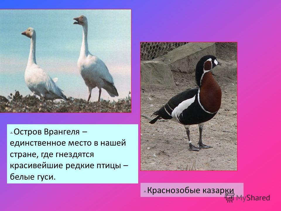 Остров Врангеля – единственное место в нашей стране, где гнездятся красивейшие редкие птицы – белые гуси. Краснозобые казарки