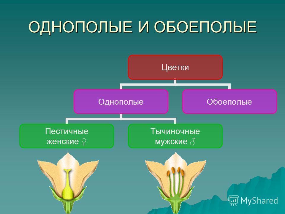 ОДНОПОЛЫЕ И ОБОЕПОЛЫЕ Цветки Однополые Пестичные женские Тычиночные мужские Обоеполые