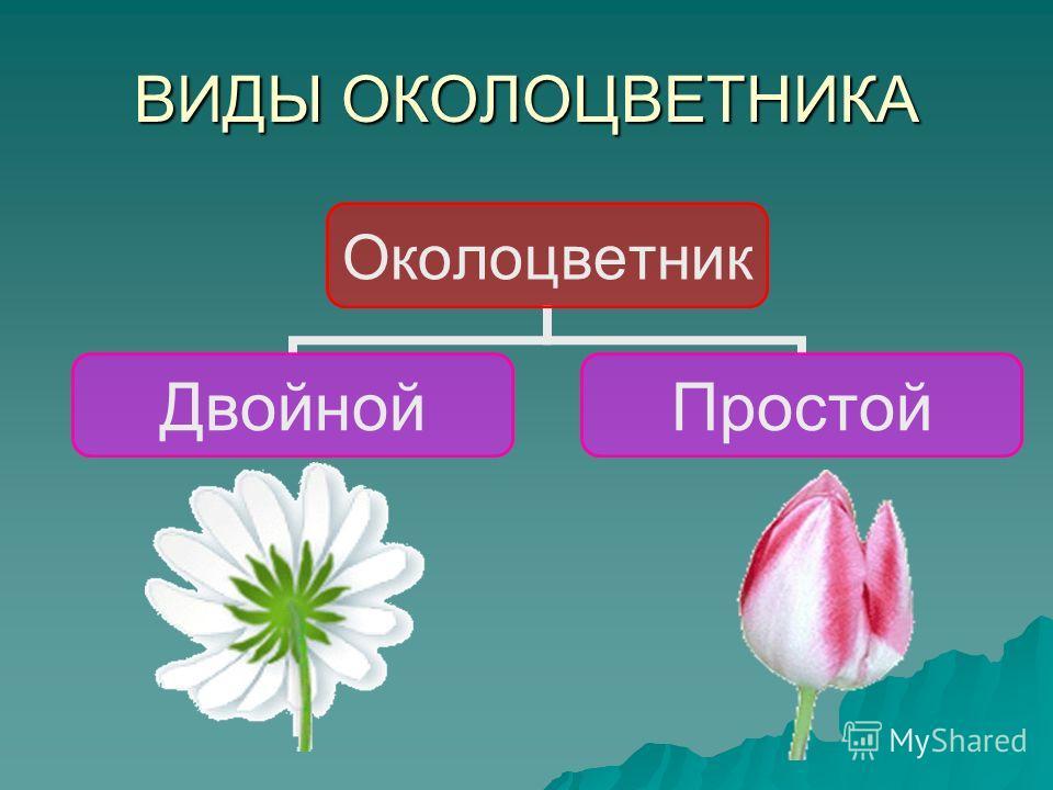 ВИДЫ ОКОЛОЦВЕТНИКА Околоцветник ДвойнойПростой