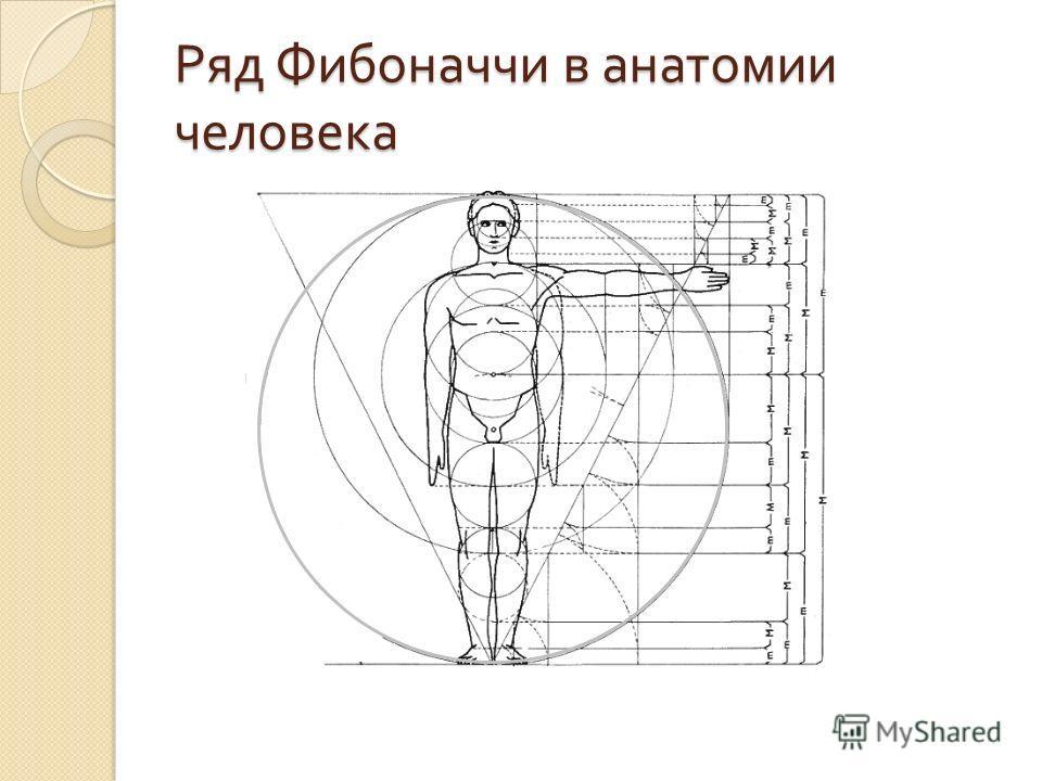 Ряд Фибоначчи в анатомии человека