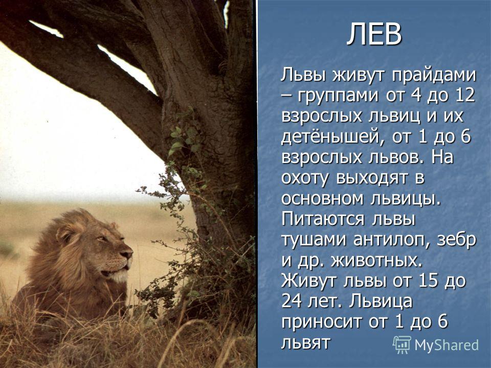 ЛЕВ Львы живут прайдами – группами от 4 до 12 взрослых львиц и их детёнышей, от 1 до 6 взрослых львов. На охоту выходят в основном львицы. Питаются львы тушами антилоп, зебр и др. животных. Живут львы от 15 до 24 лет. Львица приносит от 1 до 6 львят