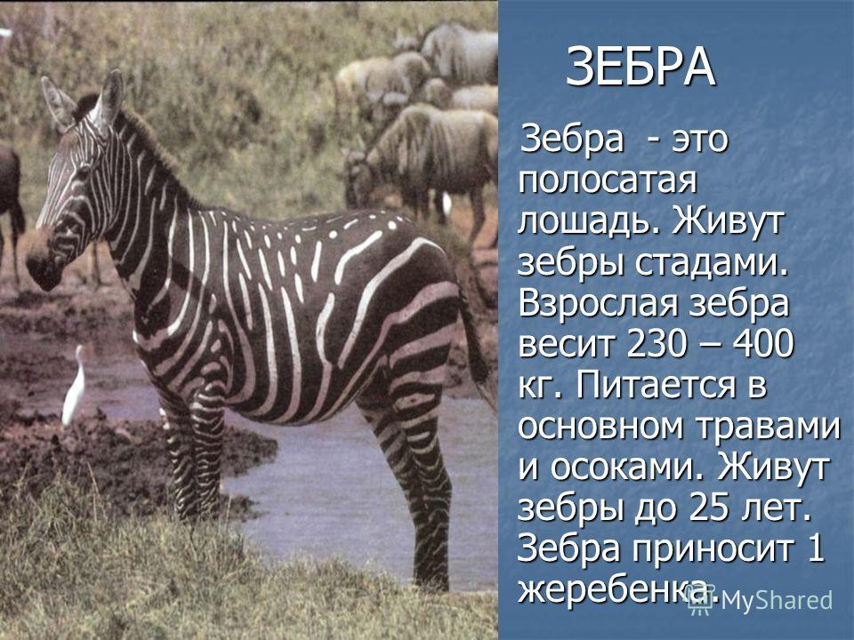 ЗЕБРА Зебра - это полосатая лошадь. Живут зебры стадами. Взрослая зебра весит 230 – 400 кг. Питается в основном травами и осоками. Живут зебры до 25 лет. Зебра приносит 1 жеребенка. Зебра - это полосатая лошадь. Живут зебры стадами. Взрослая зебра ве