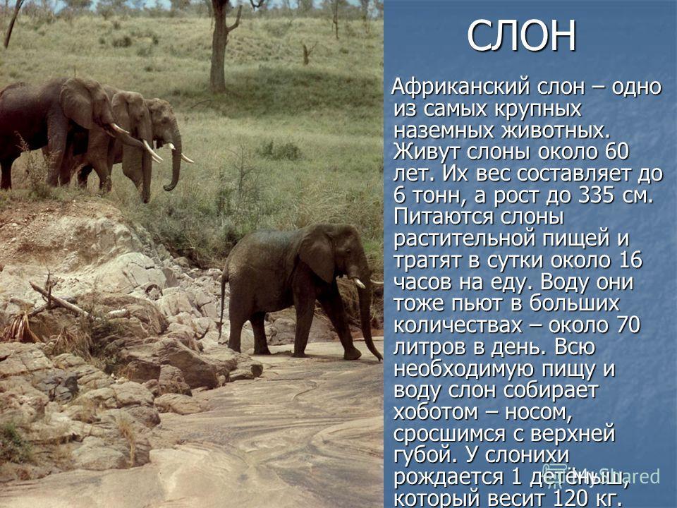 СЛОН Африканский слон – одно из самых крупных наземных животных. Живут слоны около 60 лет. Их вес составляет до 6 тонн, а рост до 335 см. Питаются слоны растительной пищей и тратят в сутки около 16 часов на еду. Воду они тоже пьют в больших количеств