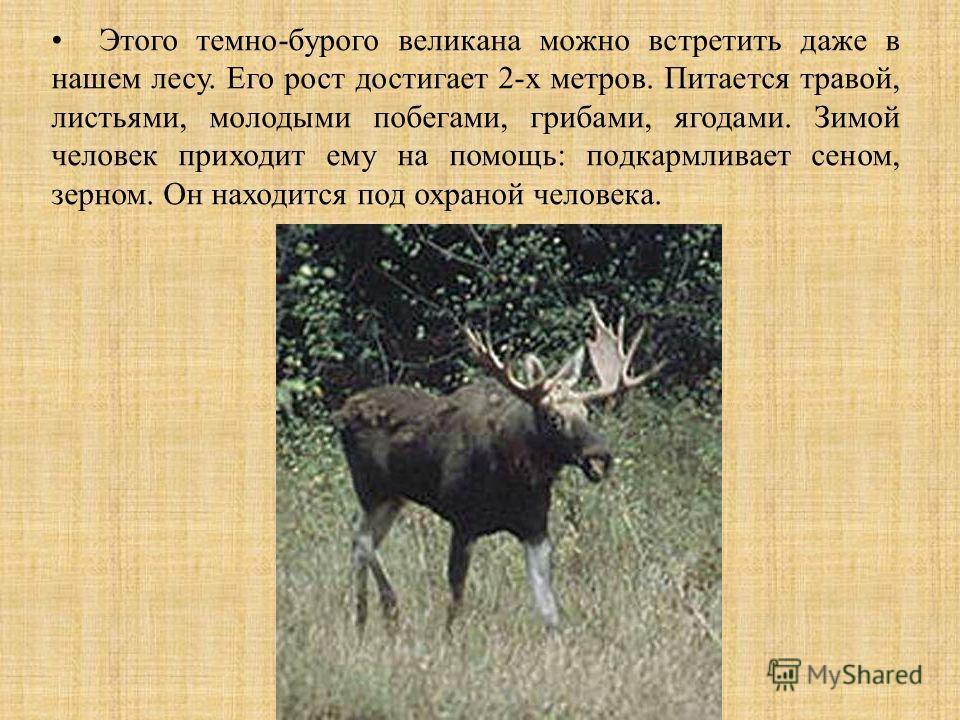 Этого темно-бурого великана можно встретить даже в нашем лесу. Его рост достигает 2-х метров. Питается травой, листьями, молодыми побегами, грибами, ягодами. Зимой человек приходит ему на помощь: подкармливает сеном, зерном. Он находится под охраной