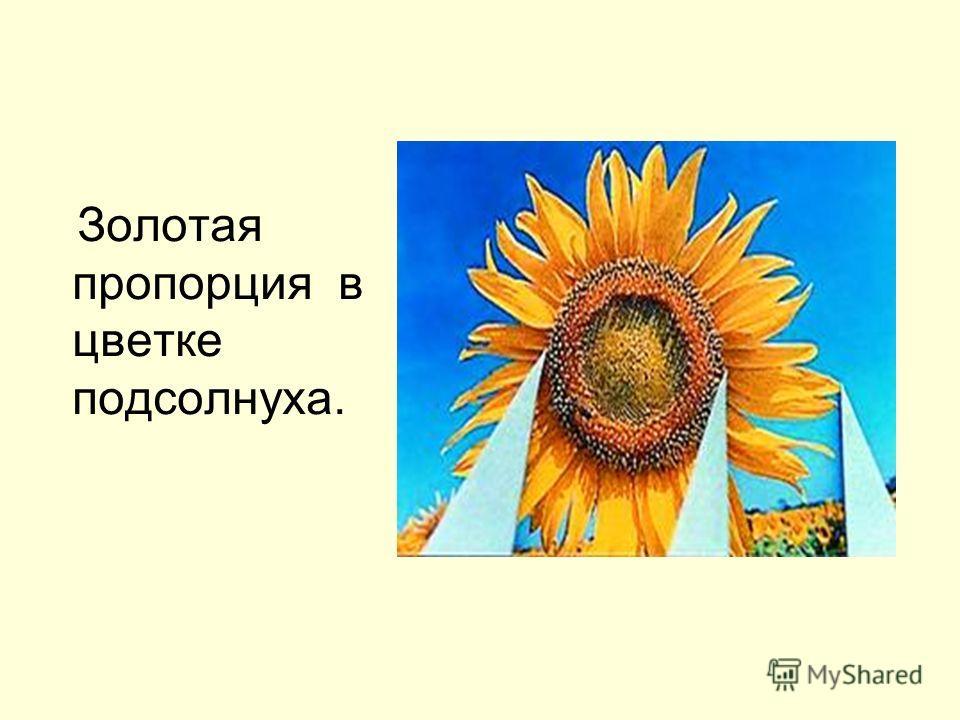 Золотая пропорция в цветке подсолнуха.