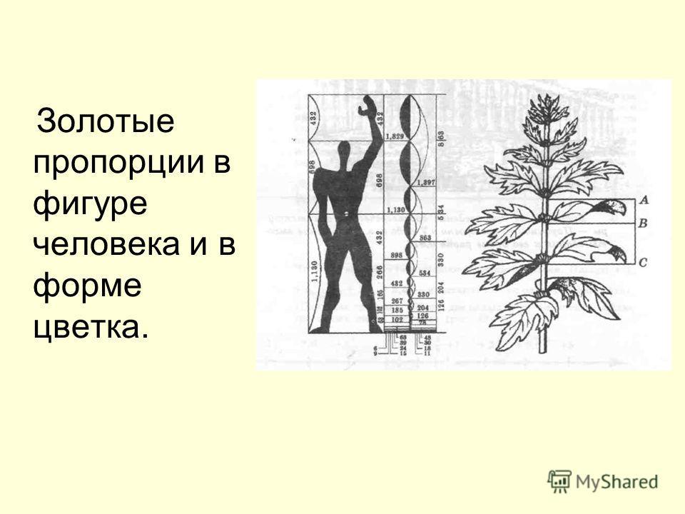 Золотые пропорции в фигуре человека и в форме цветка.