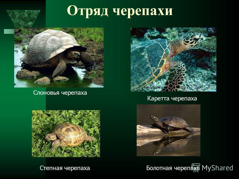 Отряд черепахи Слоновья черепаха Каретта черепаха Болотная черепахаСтепная черепаха