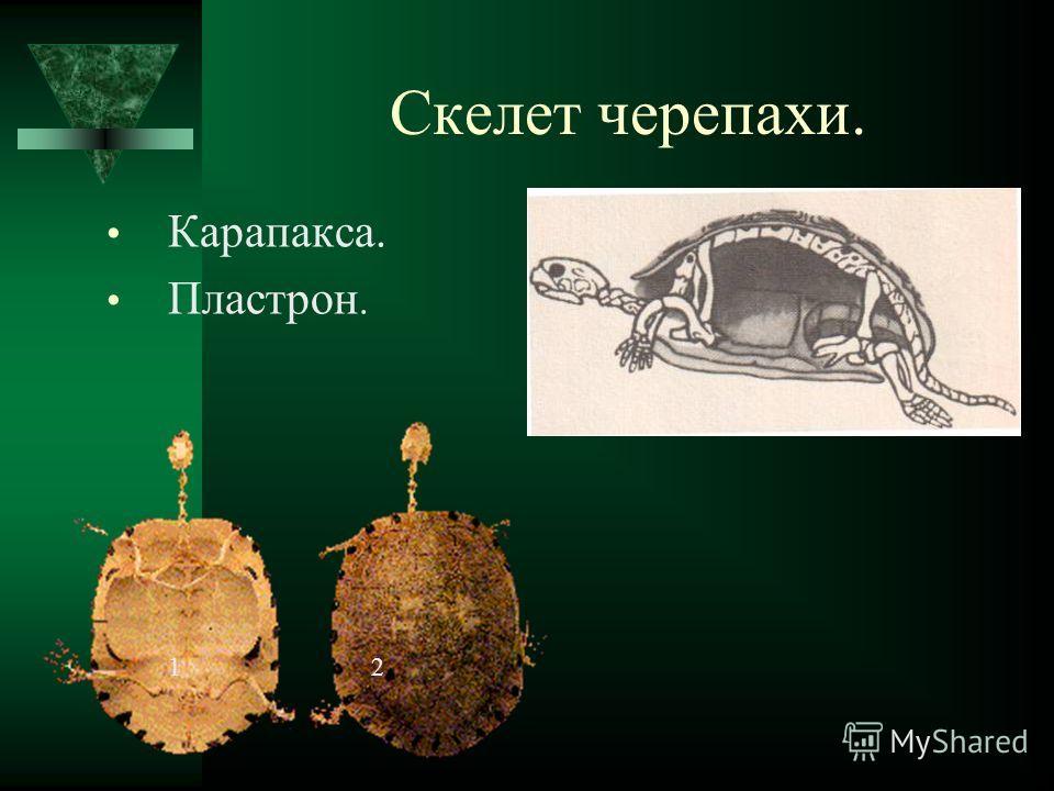 Скелет черепахи. Карапакса. Пластрон. 12