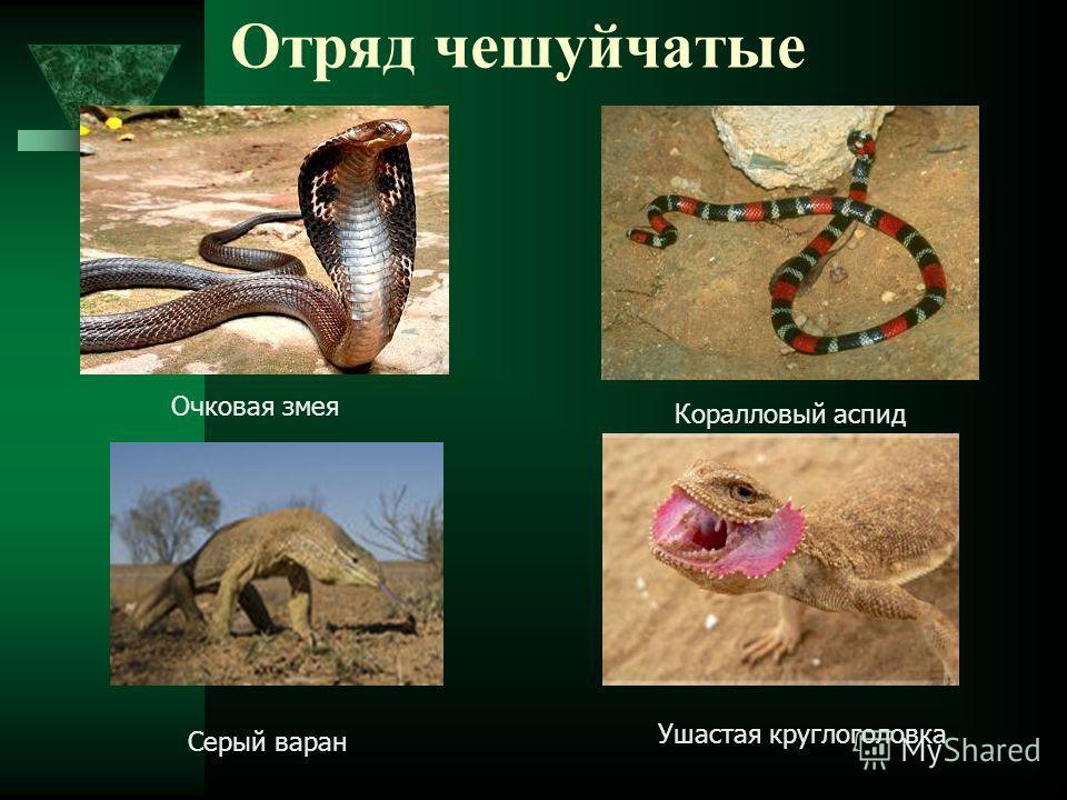 Отряд чешуйчатые Очковая змея Коралловый аспид Серый варан Ушастая круглоголовка